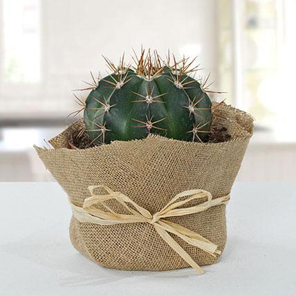Amazing Cactus With Jute Wrapped Pot: نباتات لتنقية الهواء