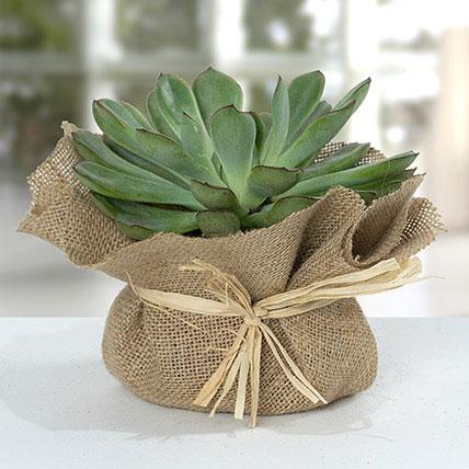 Green Echeveria Jute Wrapped Plant: زرعة للمكتب أون لاين