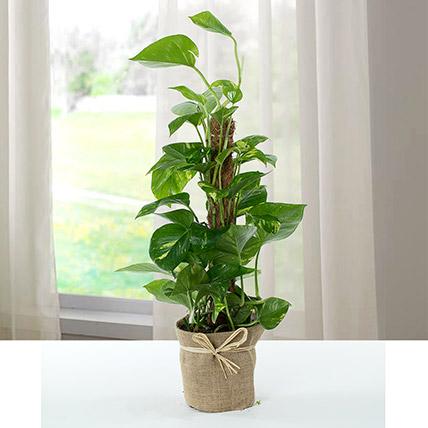 Jute Wrapped Epipremnum Aureum Plant: