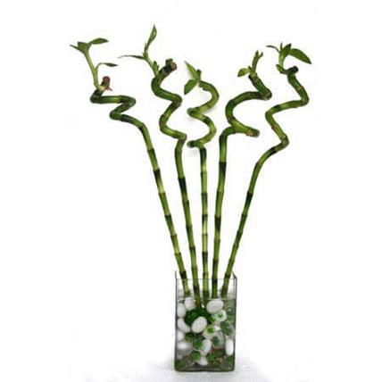 خيزران الحظ: نبات البامبو أون لاين