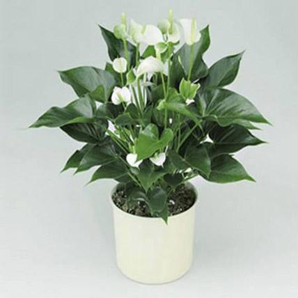 White Anthurium Plant: