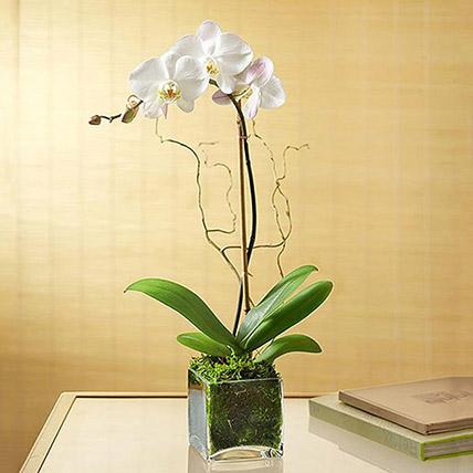 زهرة الأوركيد الأبيض في مزهرية زجاجية: