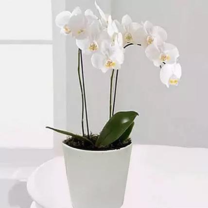 نبات الأوركيد فالاينوبسيس الأبيض: باقة زهور عيد أم سعيد