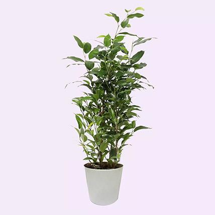 Ficus Plant In Pineapple Design Pot