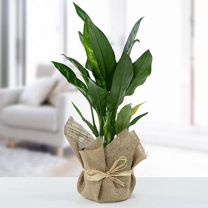 Jute Wrapped Aglaonema Plant