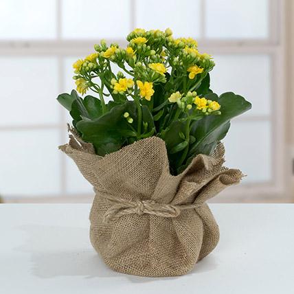 Jute Wrapped Yellow Kalanchoe Plant