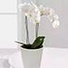 نبات الأوركيد فالاينوبسيس الأبيض
